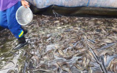 การเลี้ยงปลาดุกในบ่อซีเมนต์กลมแบบง่ายๆ